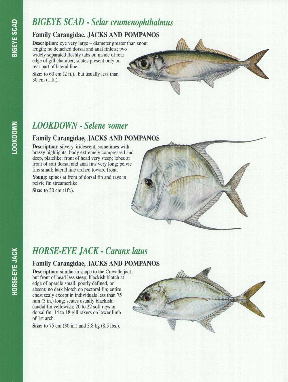 Florida gulf fish pictures to pin on pinterest pinsdaddy for Types of edible fish