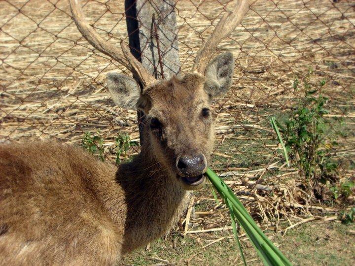 Animal Destination: Philippine Deer