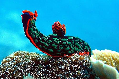 Beautiful Sea Slugs Blue Sea Slug Beautiful