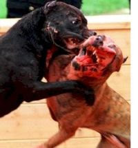 Make dog fighting a felony