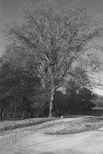 Earl's Tree