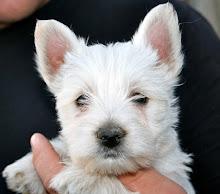 ¿Quieres un cachorro Westy?