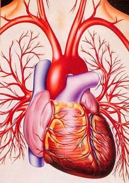 diagram 0f the human heart