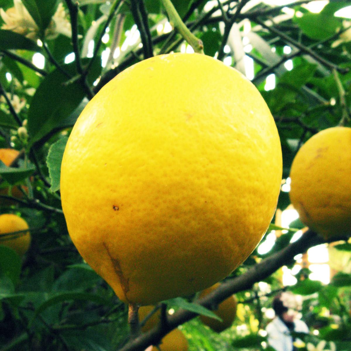 Boston Found: Meyer Lemon & Vanilla Bean Marmalade