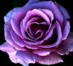 My Purple Rose