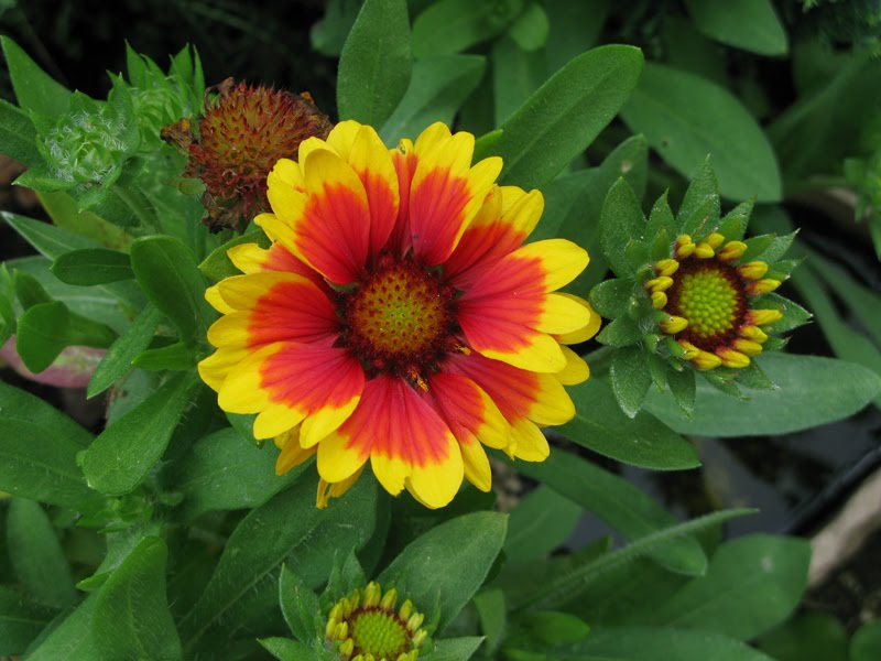 Alicia merrett flower yellow and red orange dont know its name flower yellow and red orange dont know its name again mightylinksfo