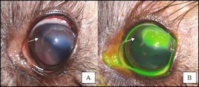 Córnea antes e depois do teste de fluoresceína