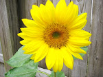 Sun Flower in my Garden