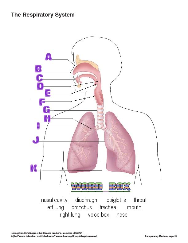 Homeschooling free august 2010 respiratory system ccuart Image collections