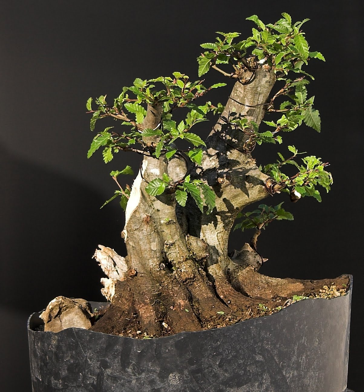SandevBonsai Carpinus Orientalis Evolution II