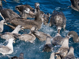 Black-footed Albatross and Northern Fulmar in a feeding frenzy off Newport, Oregon on October 3, 2009. Photo by Greg Gillson.
