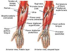 Anatomi Tangan Manusia