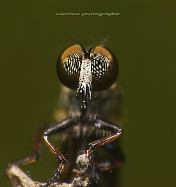 Face to face with Mr small Robberfly