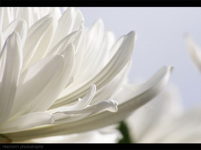 White chrysanthemum picture