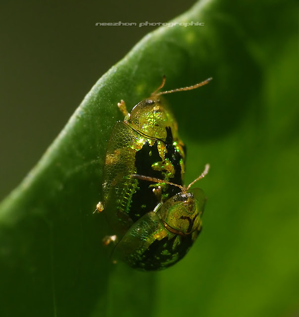 mottled tortoise beetle mating