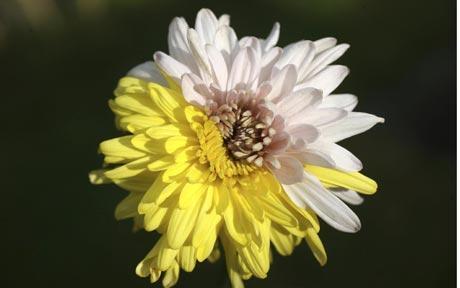 multicoloured chrysanthemum picture