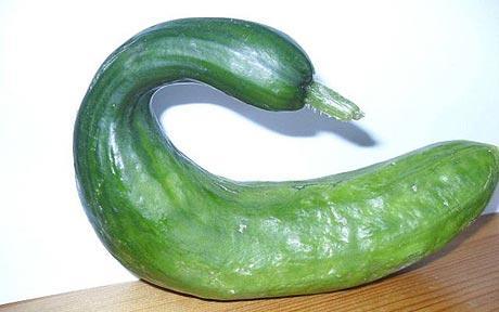 swan cucumber picture