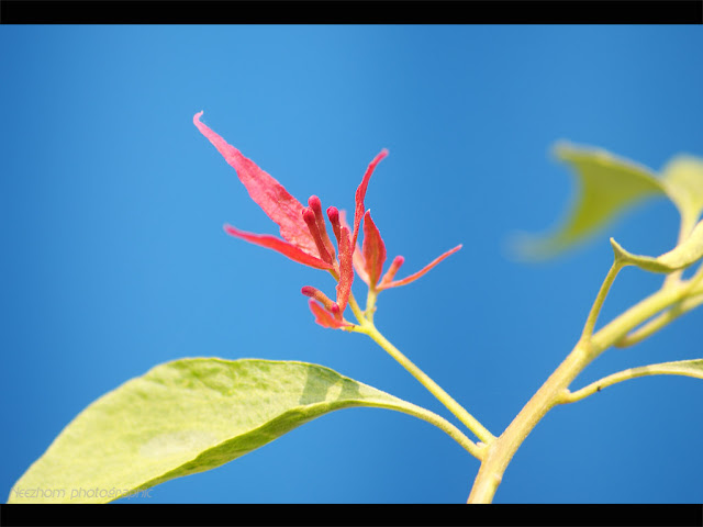 tiny red bougainvilla with blue background photo
