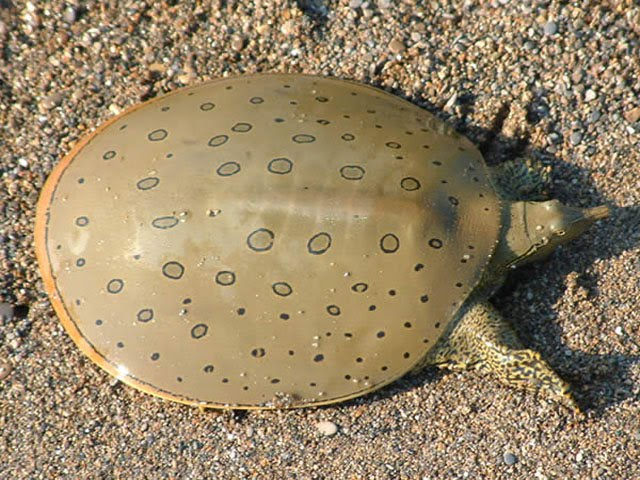 how to catch a spiny softshell turtle