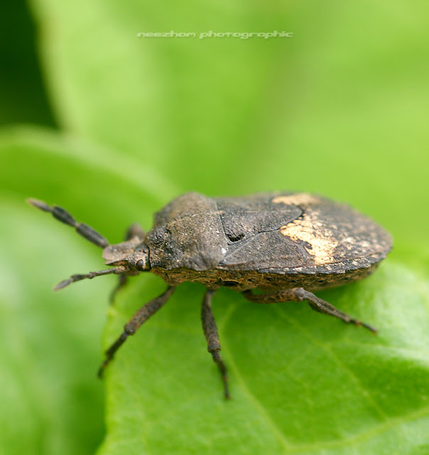 Shield bug like a rusty iron