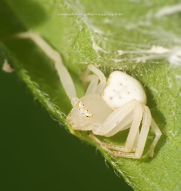 White Spider in its lair