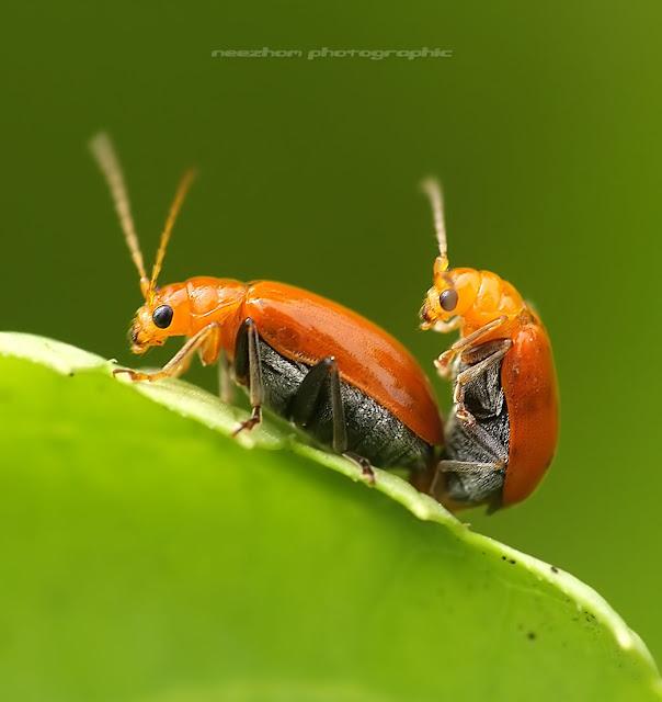 kumbang warna oren mengawan / bersetubuh