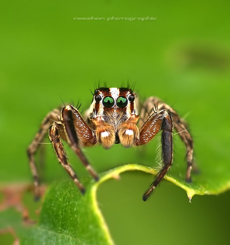 brown and white stripes Jumper Spider
