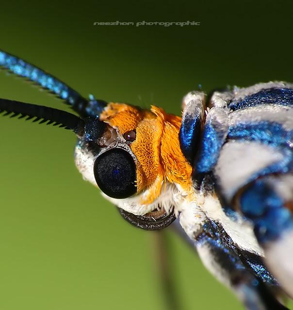 White blue wings Moth macro