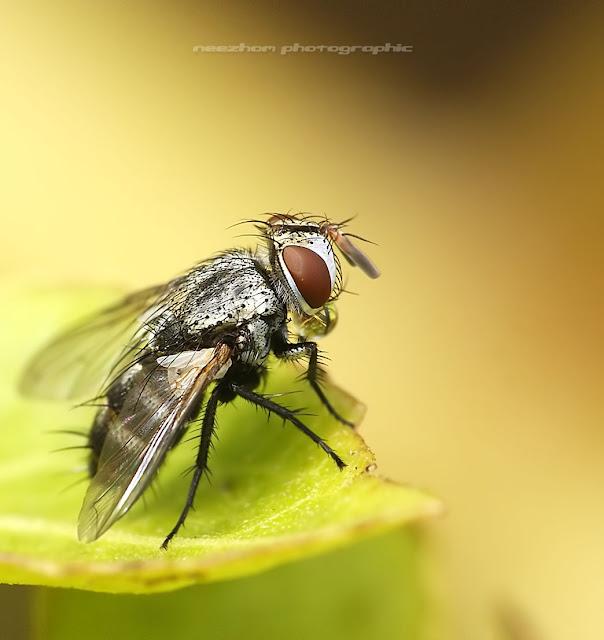 Trojan-head Fly