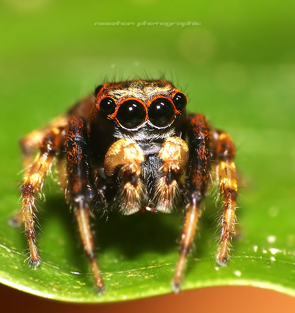 Jumping spider macro portrait