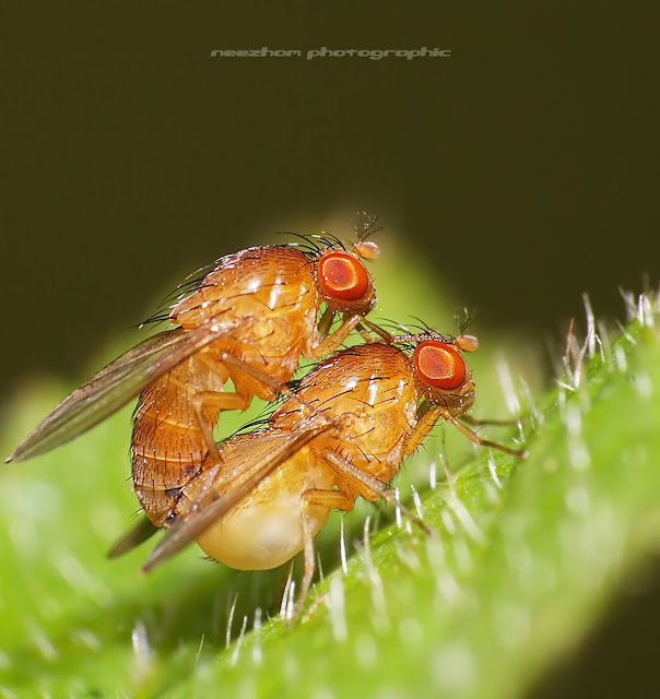 Orange fruit Flies make love