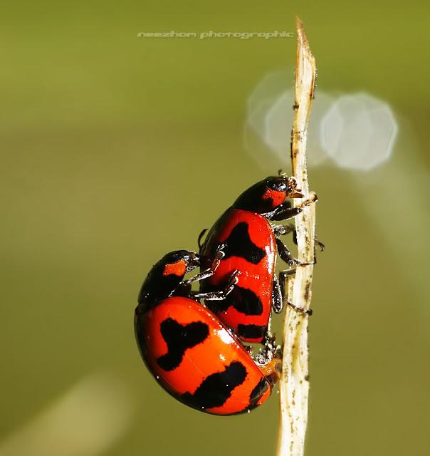 ladybird mating