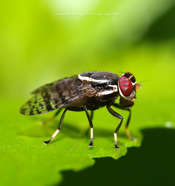 Green red eyes striped Fly