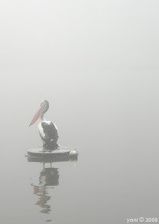 misty pelican