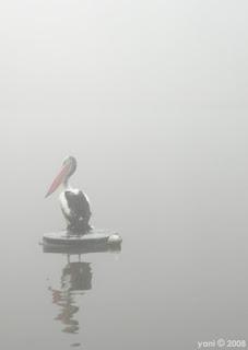 misty pelican