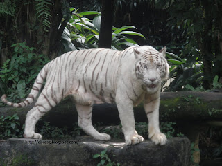 Singapore  Incident Pictures on Singaporemyhome  My World Tuesday   Singapore Zoo   White Tiger