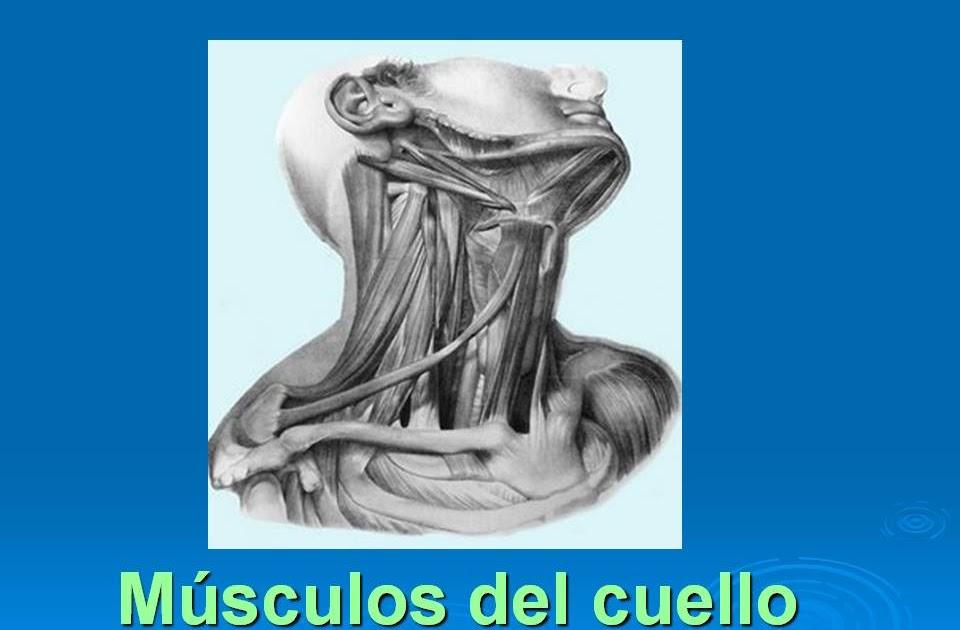 Musculos de Cuello | Archivos, Materia ,Libros, Kines y mas........
