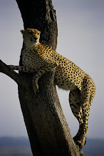 Cheetah in a Tree