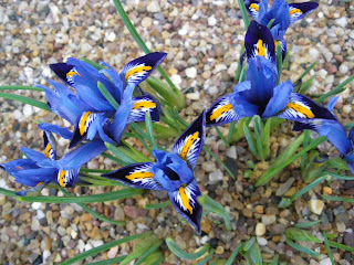 floare iris reticulata