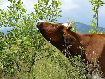 Odchody zwierząt roślinożernych źródłem żywności dla świń.