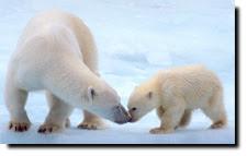 are polar bears doomed?