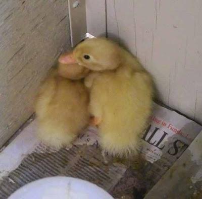 Rensselaer Adventures: Chicks not wild!