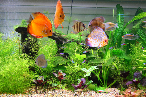 What you need to know before keeping discus fish our for Keeping discus fish