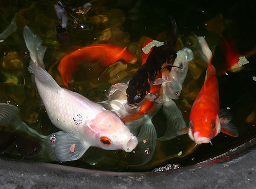 Koi pond kits everything you need to know our pets we for Koi feeding