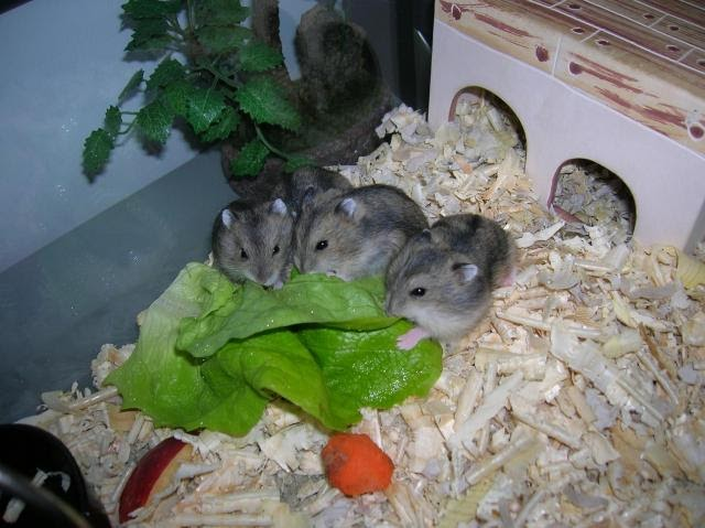 dwarf russian hamster care our pets we love em