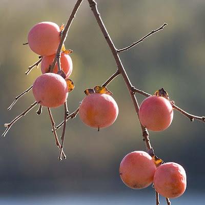 fructose-in-persimmones?