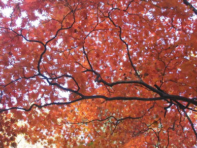 japanese maple tree meaning. Japanese maple. Trees