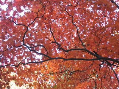 japanese maple tree meaning. Japanese maple. Trees