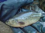ikan Puyu Siam