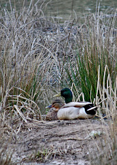 Mallard Couple in Marsh